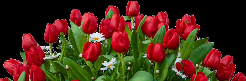 Tulipani e margherite di campo